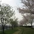 揖保川沿いのさくら
