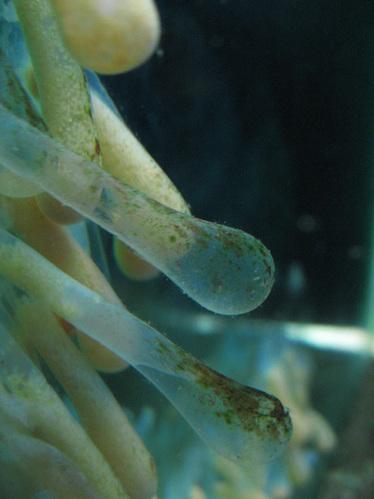 ホラ貝の卵